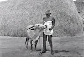 Cow Laxmi with Bhagavan